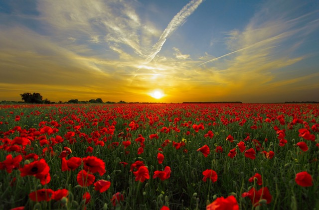 A Field of Poppy Flowers at Sunset.